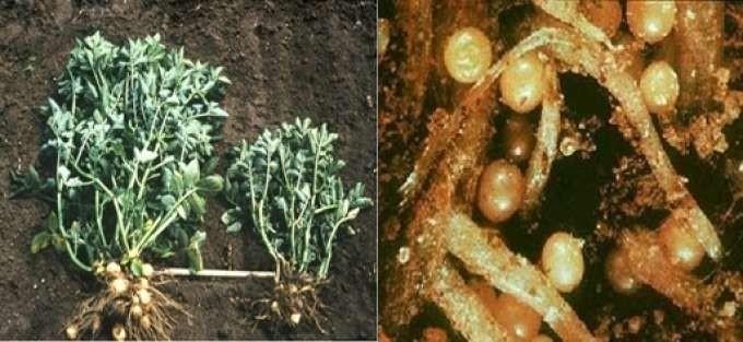 Золотиста картопляна нематода – основний паразит картоплі